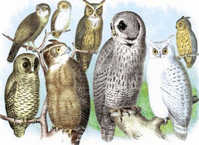 Hoot of Owls