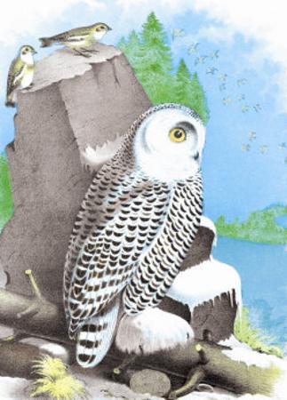 The Snow Owl
