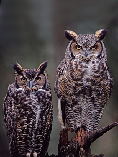These Great Horned Owls, Washington, USA-Charles Sleicher-Photographic Print