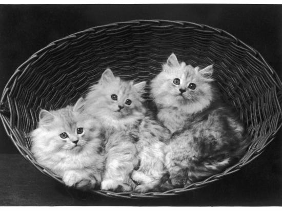 These Three Adorable Chinchilla Kittens Sit Together in an Up- Turned Basket--Photographic Print