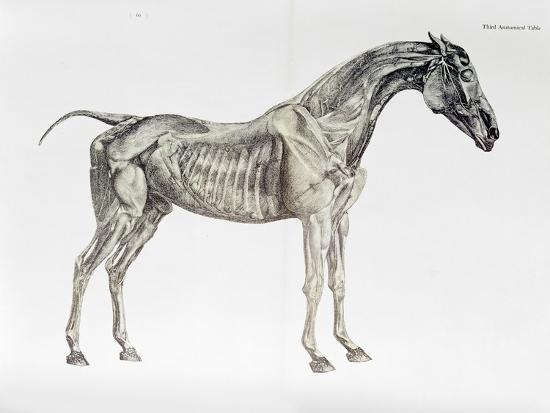 Third Anatomical Table From The Anatomy Of The Horse Giclee Print