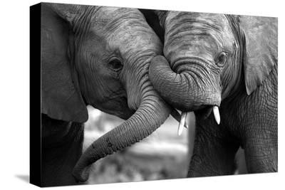 This Amazing Black and White Photo of Two Elephants Interacting Was Taken on Safari in Africa.-JONATHAN PLEDGER-Stretched Canvas Print
