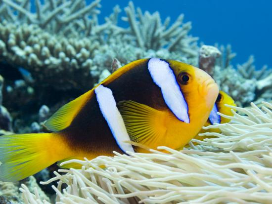 This Orange-Fin Anemonefish, (Amphiprion Chrysopterus) Is Pictured over its Host Sea Anemone. Fiji-David Fleetham-Photographic Print