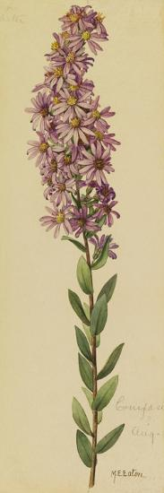 This Plant Is a Member of the Aster Family-Mary E. Eaton-Giclee Print