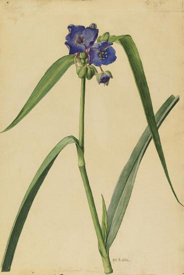 This Plant Is a Member of the Spiderwort Family-Mary E. Eaton-Giclee Print