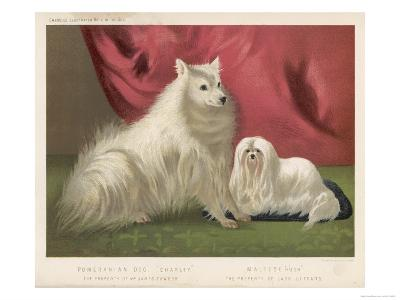 This Pomeranian Looks Quite Large Beside a Maltese Terrier--Giclee Print