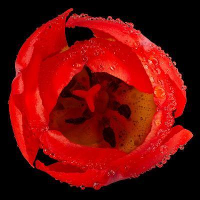 This Red Tulip-Steve Gadomski-Photographic Print