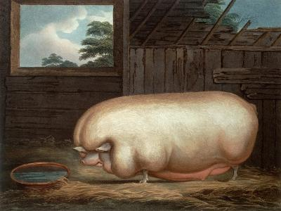 """""""This Remarkable Animal..."""", Engraved by John Whessel (C.1760-1823), 1808-Benjamin Gale-Giclee Print"""