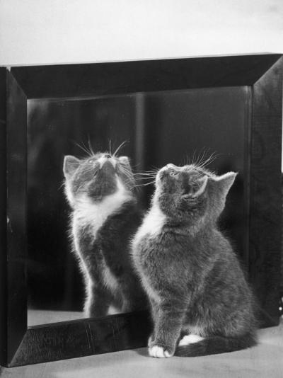 This Small Grey and White Kitten Stares up at the Ceiling While Sitting Next to a Large Mirror-Thomas Fall-Photographic Print