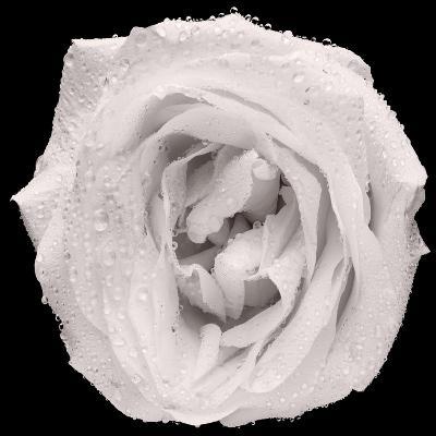 This White Rose-Steve Gadomski-Photographic Print