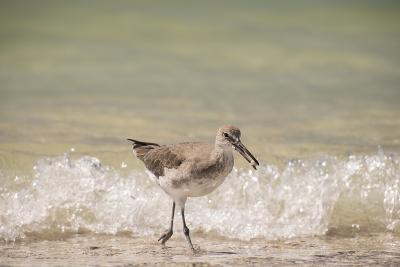 This Willet Has His Next Meal-Sheila Haddad-Photographic Print