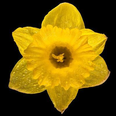 This Yellow Daffodil-Steve Gadomski-Photographic Print
