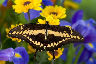 Thoas Swallowtail Resting on Irises and Daisies-Darrell Gulin-Photographic Print