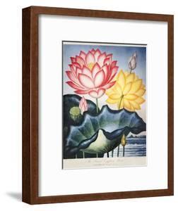 Thornton: Lotus Flower by Thomas Burke