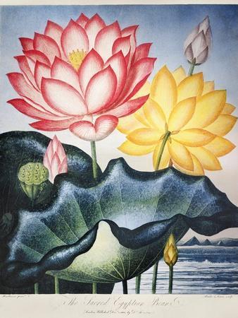 Thornton: Lotus Flower