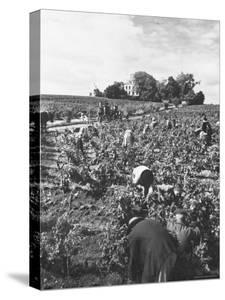 Workers During the Harvest Season Picking Grapes by Hand in the Field For the Wine by Thomas D. Mcavoy