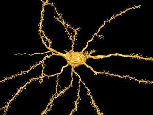 Brain Neuron by Thomas Deerinck