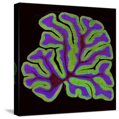 Cerebellum Structure, Light Micrograph