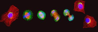 Confocal Image of Cells at Various Stages of Mitosis by Thomas Deerinck