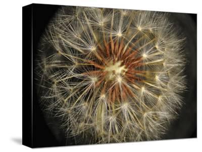 Dandelion Seeds (Taraxacum Officinale), Stereomicroscopy