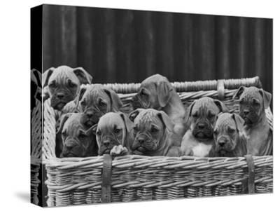 Basket-Full of Boxer Puppies with Their Adorable Wrinkled Heads