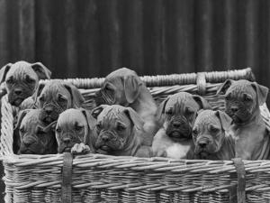 Basket-Full of Boxer Puppies with Their Adorable Wrinkled Heads by Thomas Fall