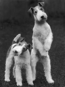Belsize Mavis and Stella of Solent Two Wire Fox Terriers by Thomas Fall