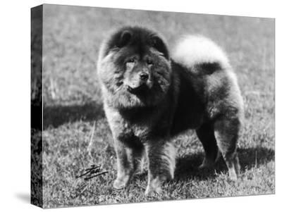 Champion Choonam Hung Kwong Crufts, Best in Show, 1936