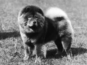 Champion Choonam Hung Kwong Crufts, Best in Show, 1936 by Thomas Fall