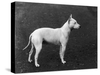 Champion Faultless an Early Example of the Bull Terrier Breed
