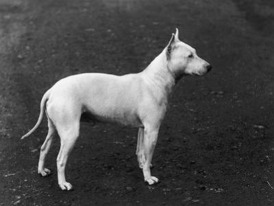 Champion Faultless an Early Example of the Bull Terrier Breed by Thomas Fall