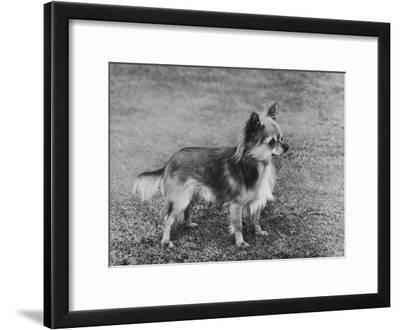 Champion Rozavel Wolf Cub Owner: Gray