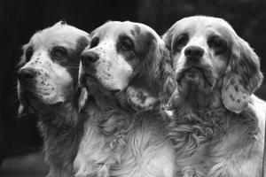 Clumber Spaniels by Thomas Fall