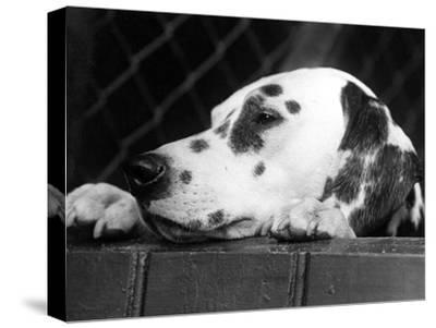 Dalmatian, Head Only, 1934