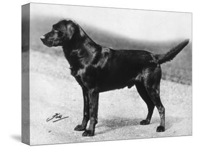 Dual Champion Bramshaw Bob Crufts, Best in Show, 1932 and 1933