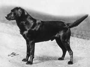 Dual Champion Bramshaw Bob Crufts, Best in Show, 1932 and 1933 by Thomas Fall