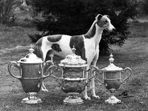 Fall, Crufts, 1956, Greyh'D by Thomas Fall