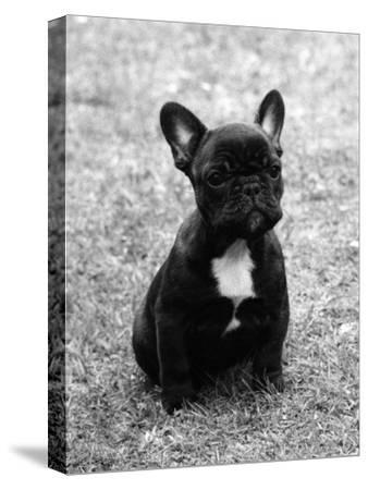 Fall, French Bulldog, Pup