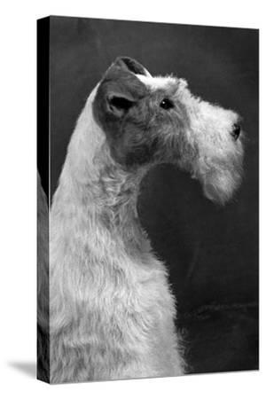Fall, Wire Fox Terrier, 54