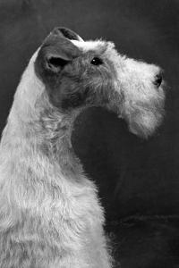 Fall, Wire Fox Terrier, 54 by Thomas Fall