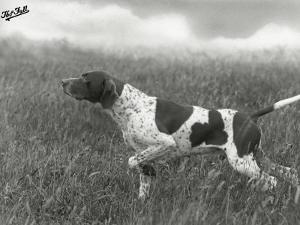 Field Trials Champion Banchory Grouse Owned by Lorna Countess Howe by Thomas Fall