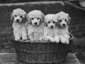"""Four """"Buckwheat"""" White Minature Poodle Puppies Standing in a Basket by Thomas Fall"""
