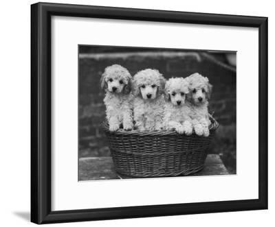"""Four """"Buckwheat"""" White Minature Poodle Puppies Standing in a Basket"""