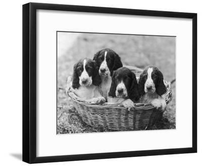 Four Large Puppies Crowded in a Basket. Owner: Browne