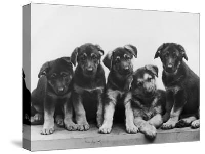 Group of Alsatian Puppies