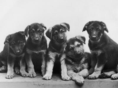 Group of Alsatian Puppies by Thomas Fall