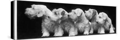 Group of Five Sealyham Puppies Looking Away from the Camera