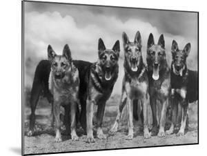 """Group of Mrs Leslie Thornton's Celebrated """"Southdown"""" Alsatians by Thomas Fall"""