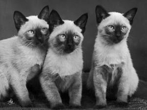 Group of Three Sweet Siamese Kittens Sitting Together by Thomas Fall