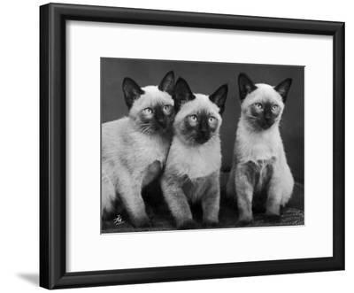 Group of Three Sweet Siamese Kittens Sitting Together